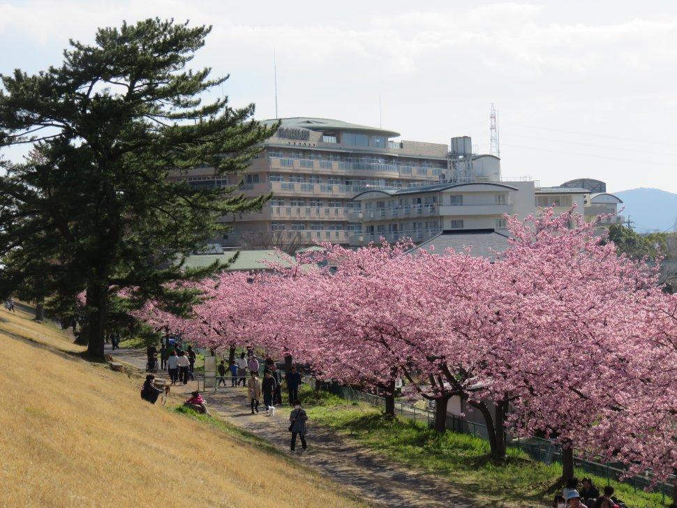 美和桜まつり
